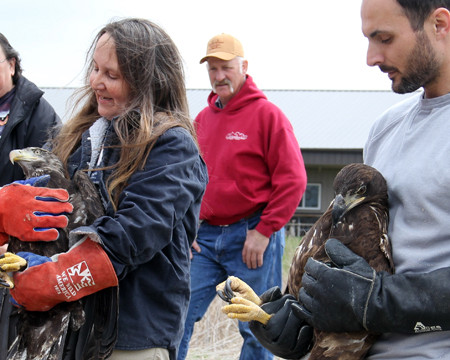 Juvenile bald eagles ready for release