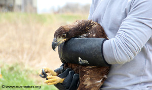 juv eagle ready for release