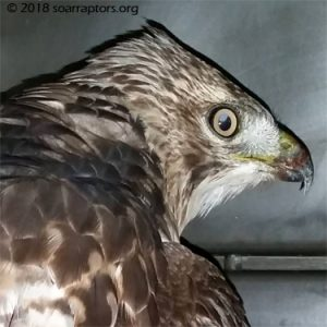 HY18 red-tailed hawk