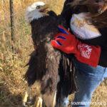 injured bald eagle