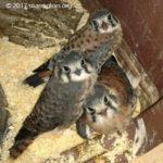 3 fledgling kestrels