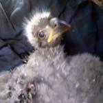 eaglet admit