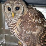 barred owl admit