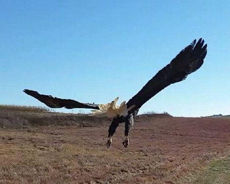 Bald eagle P-10 released!