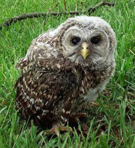 brancher barred owl