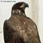 Meservey fledgling eagle