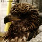 juvie bald eagle
