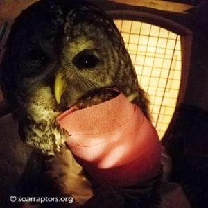 bandaged barred owl