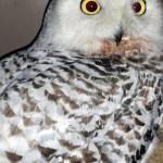 snowy owl admit