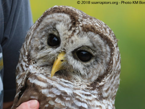 barred owl awaits release