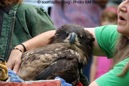 bald eagle release