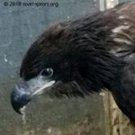 HY18 bald eagle