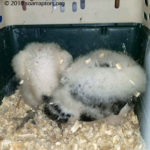 two hatchling vultures
