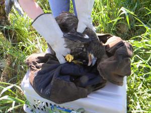 juvenile eagle rescue