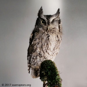 education screech owl