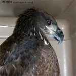 Jackson Junction HY18 eagle