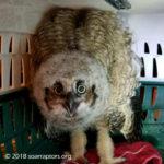 hatchling horned owl