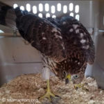 fledgling Cooper's hawk