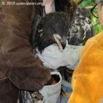 rescued eaglet