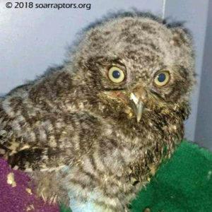 HY18 screech owl