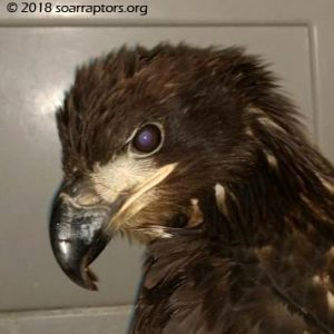 Cass County juvie bald eagle