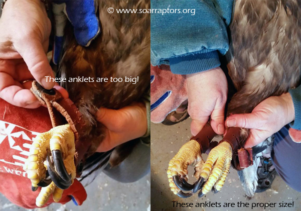 Note the difference in size of anklets, left is a female eagle size, and the right is the correct male eagle size!