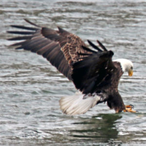 a bald eagle fishes