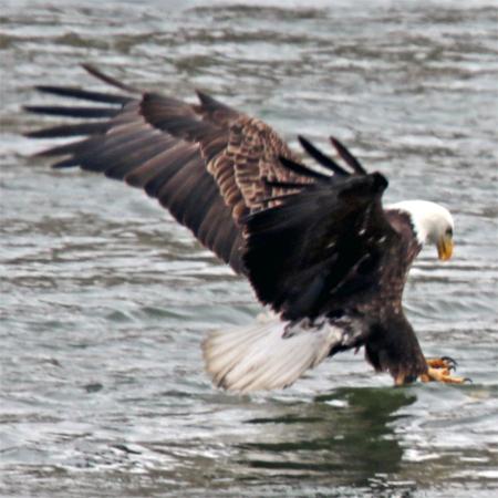 a bald eagle fishes