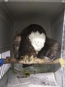 lead symptoms, eagle hanging head