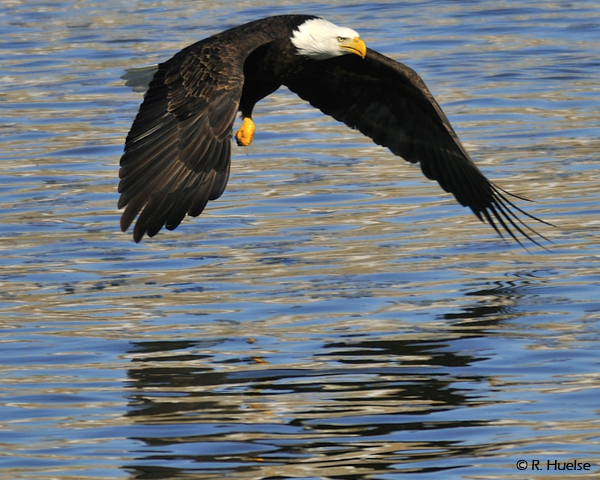 eagle with mirror image