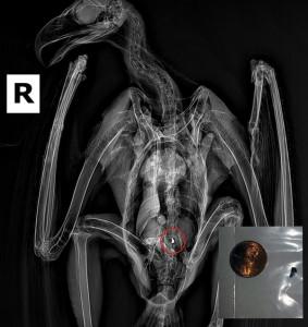 shrapnel in eagle x-ray