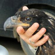 eaglet admit from Decorah