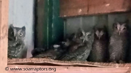 Hatch-year 2015 screech owls in the flight pen.