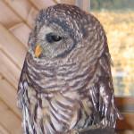 Education barred owl