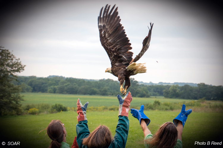 Lucas County eagle rescued 27 May 2015 was released at the 2015 SOAR Release Party in honor of Bob Anderson and Colton Pulver. Ms. Eagle was very ready to go.