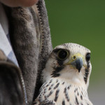 peregrine to be released
