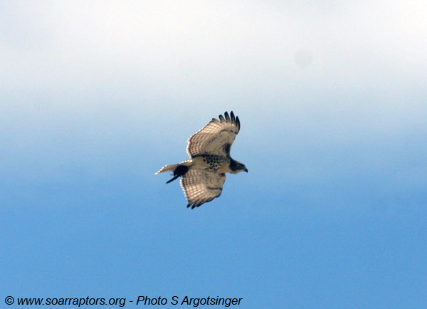 A juvenile red-tailed hawk flies overhead with a recent prey catch!