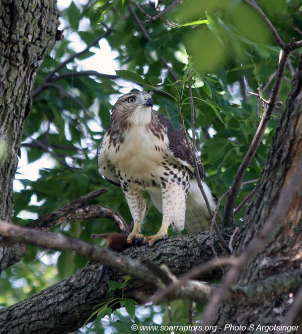 Juvenile red-tailed hawk looking for intruders wanting to steal his catch.