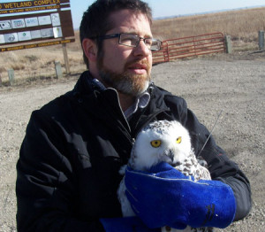 Matt Wetrich holds the snowy before release. You can see the antennae over Matt's left arm. The data received from her transmitter will give us all a peek inside the life of a snowy owl! Research!