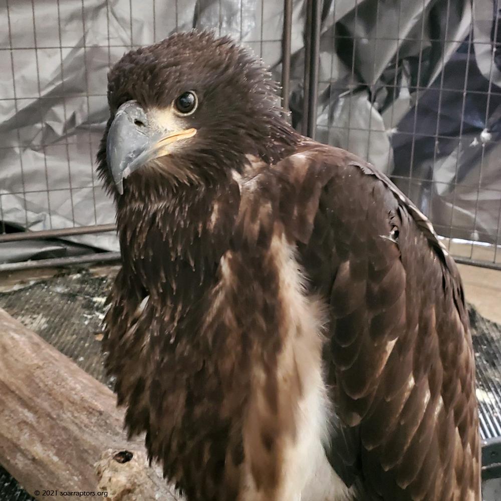 HY21 bald eagle