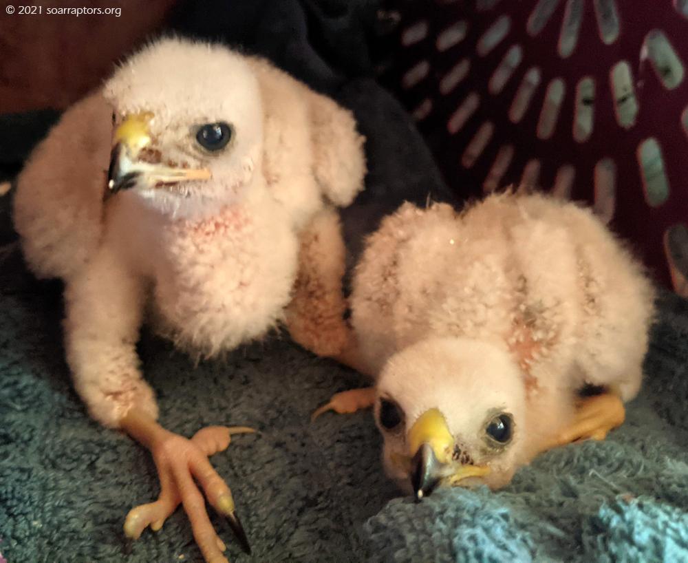 2 HY21 broad-winged hawks