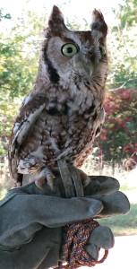 education screech owl