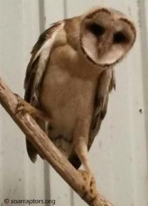 a climbing barn owl