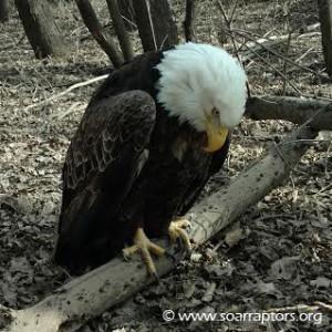 Anthon bald eagle