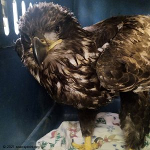 HY21 eagle