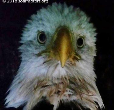 Cornelia bald eagle