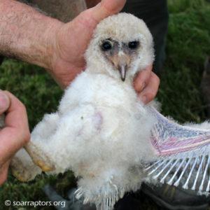 hatchling barn owl