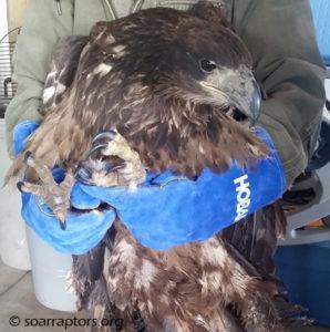 HY15 bald eagle
