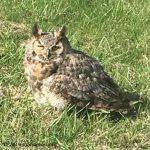 Van Meter horned owl