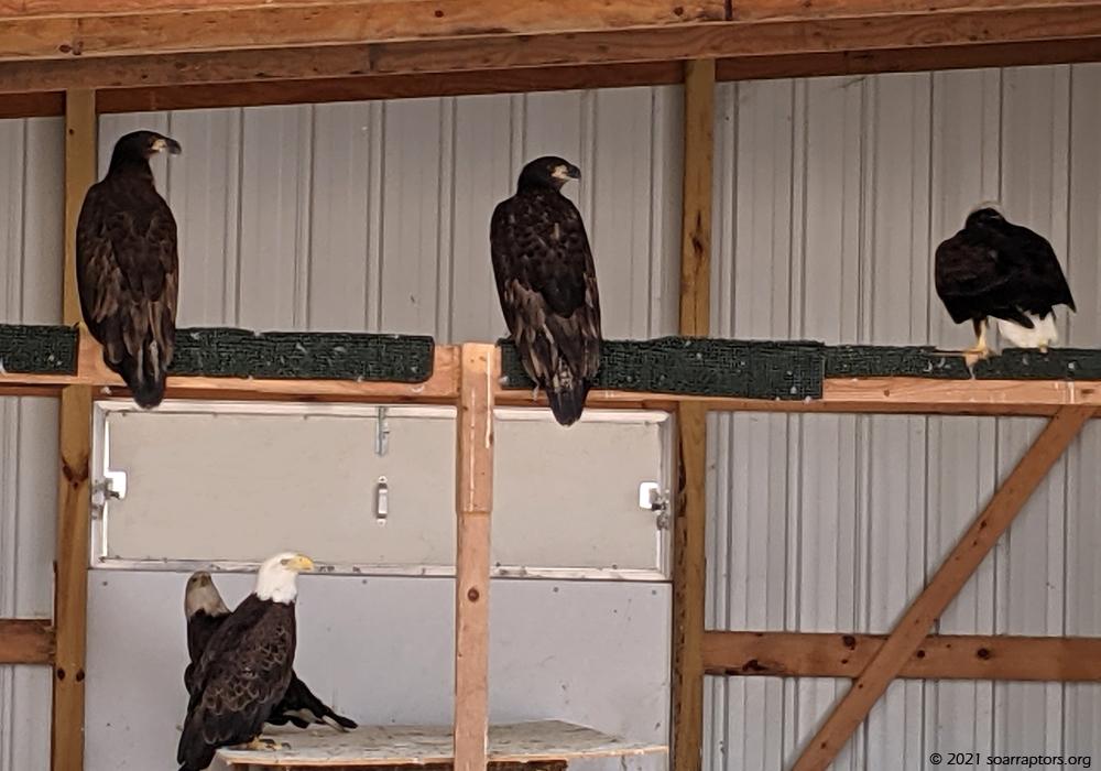bald eagles in flight pen